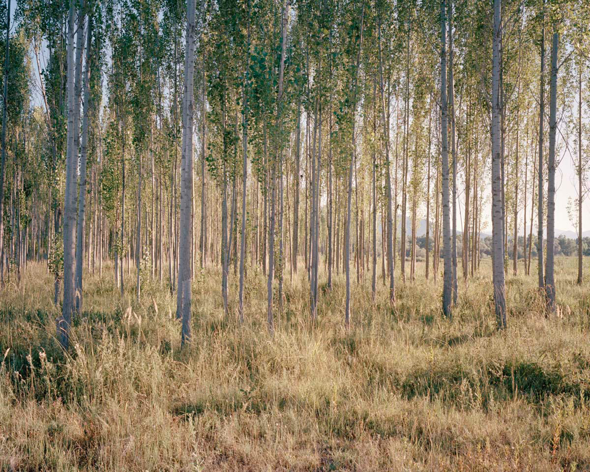 A birch wood was planted next to the Munzur river